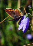 Papillon ....