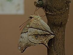 Papillon 35