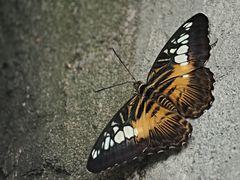 Papillon 45