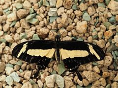 Papillon 52