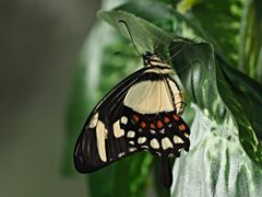 Papillon 53