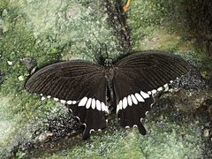 Papillon 55