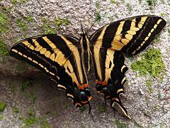 Papillon 56