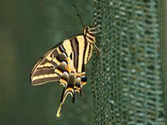 Papillon 57