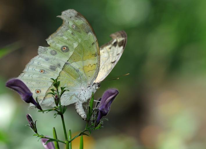 Papillon 6