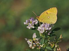 Papillon 62
