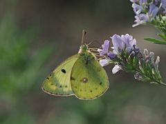 Papillon 63