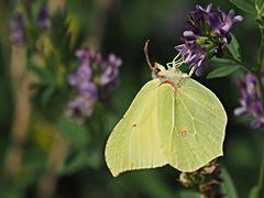 Papillon 64