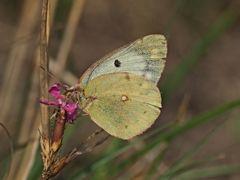 Papillon 65