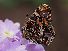 Papillon 66