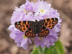 Papillon 67
