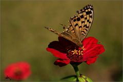 Papillon à l'aile brisée