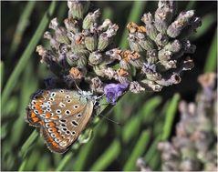 Papillon  -  Argus bleu