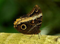 Papillon auf der L'Ile aux Papillons