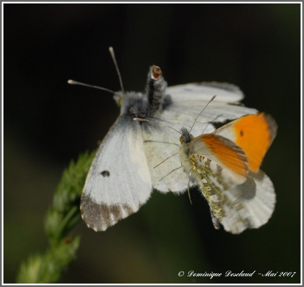 Papillon Aurore (Male et Femelle) 3/3