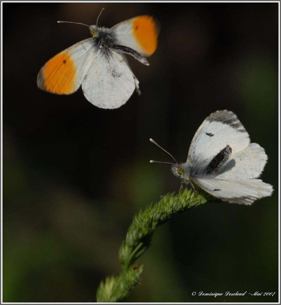 Papillon Aurore Male et Femelle