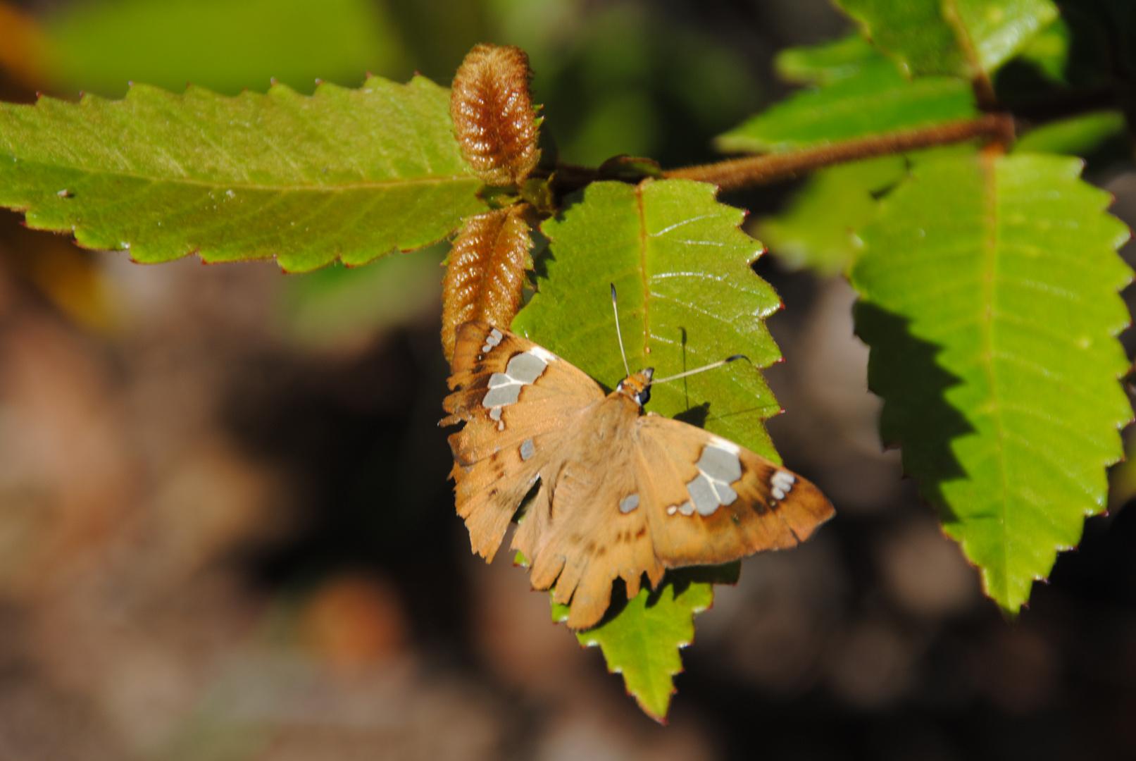 Papillon, Australie