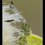 papillon bijou