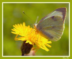 Papillon Blanc n°2