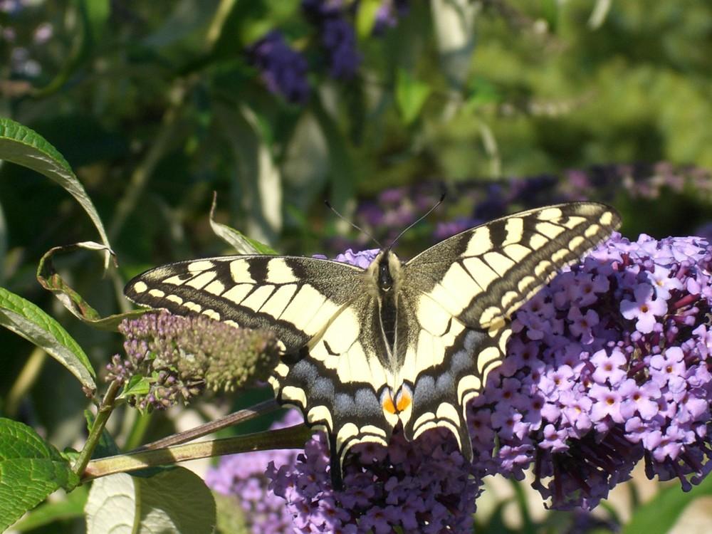 papillon butine