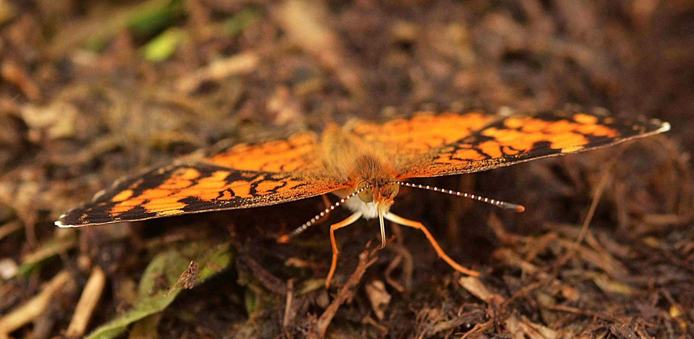 Papillon Croissant nordique