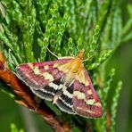 Papillon dans son habit de fête! - Purpurroter Zünsler (Pyrausta purpuralis)