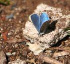 papillon de millau