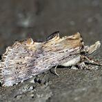 Papillon de nuit fascinant! - Ein zierlicher Zahnspinner (Pterostoma palpina)! *