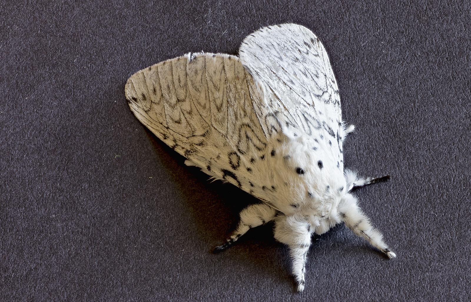 Papillon de nuit L'Hermine