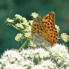 Papillon de printemps