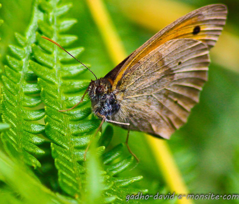 papillon des jardins
