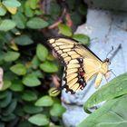 papillon du parc floral de la Source ( Orléans )