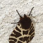 papillon ecaille