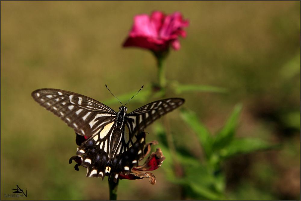 Papillon et fleur rose