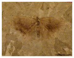 *papillon fossile*