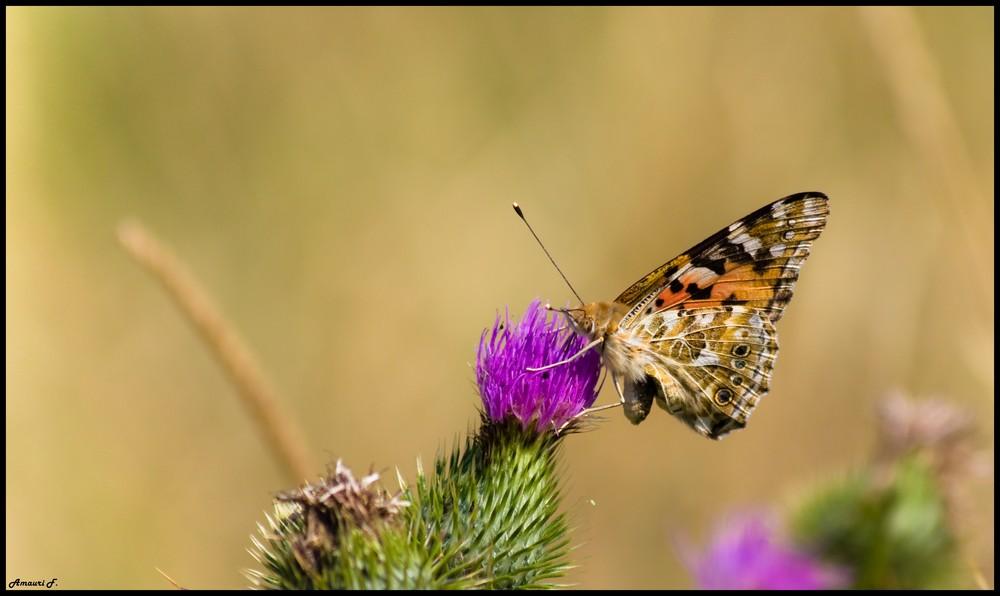 Papillon Glouton .