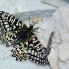 *  papillon  la Proserpine *