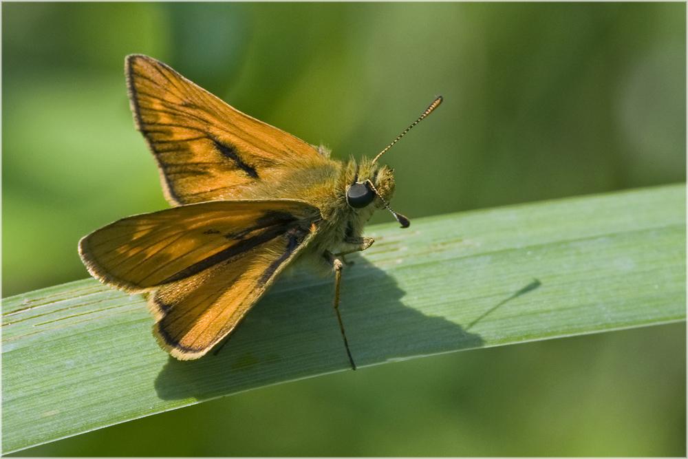 Papillon la Sylvaine (Ochlodes sylvanus)