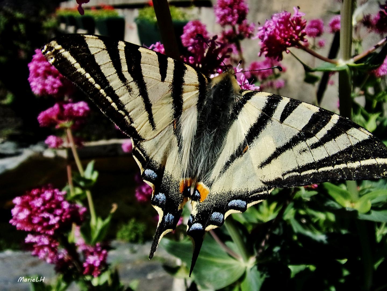 Papillon le flamb photo et image nature fleurs - Image papillon et fleur ...