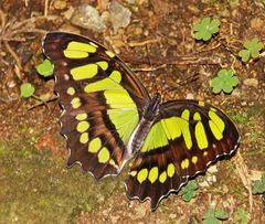 papillon malachite