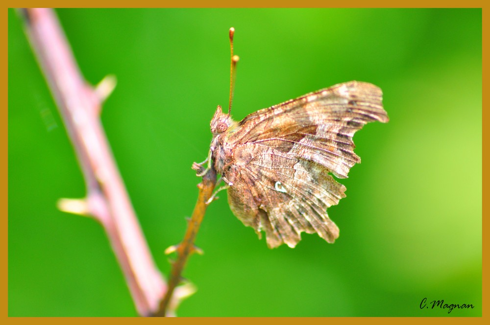 Papillon migrateur