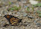 Papillon Monarque du Canada