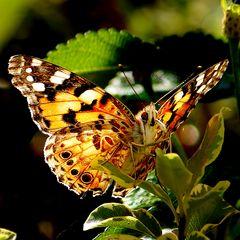 Papillon (Oui je sais )