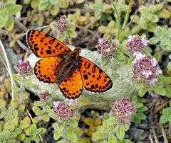 Papillon-Papillon-Papillon… Roter Scheckenfalter (Melitaea didyma) *
