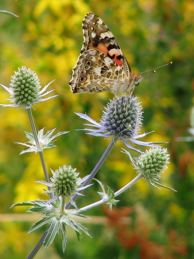 papillon sur chardon bleu