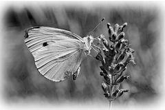Papillon .....sur lavande
