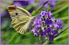 papillon sur lavande ....