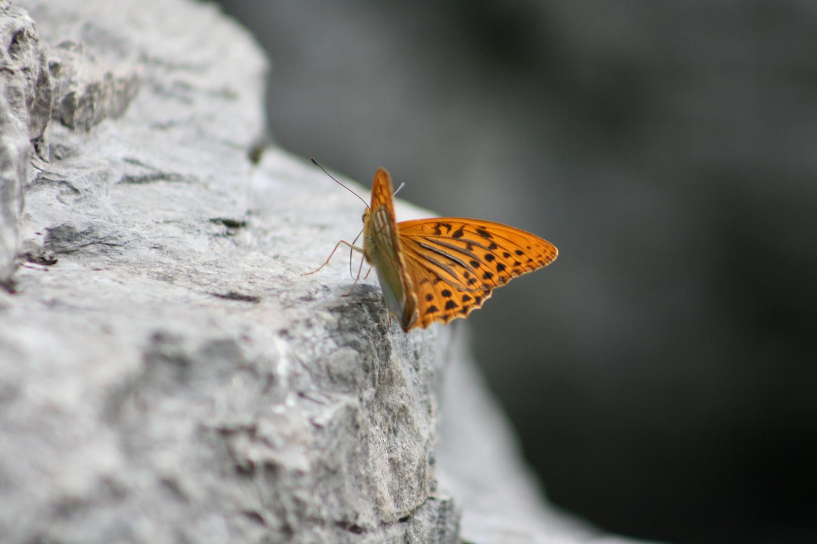 papillon sur rocher