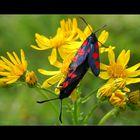 Papillon Zygene.