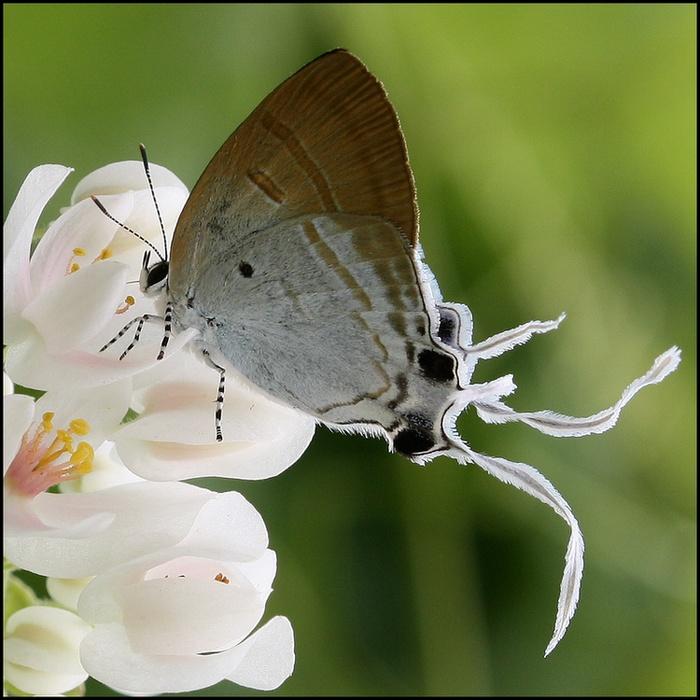 Papillons aux ailes filantes